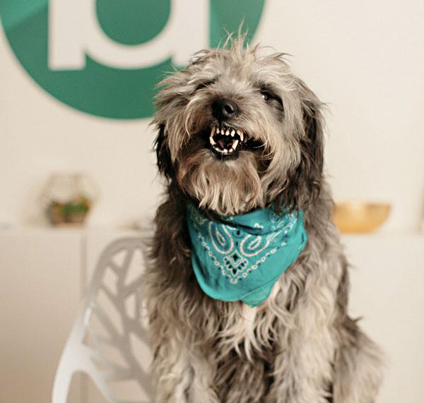 loki the office dog